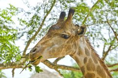 Giraffe in the Jungle. Stock Photos