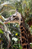 Giraffe in jungle Royalty Free Stock Images