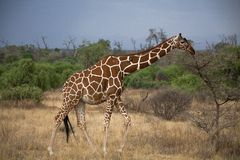 Giraffe in Kenia Stock Images