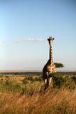 Giraffe (Kenia) lizenzfreie stockfotos