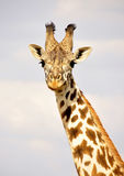Giraffe in Kenia, Safari in Afrika Lizenzfreie Stockfotografie
