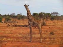 Giraffe in Kenya royalty free stock photography
