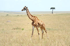 Giraffe in Kenya Royalty Free Stock Image