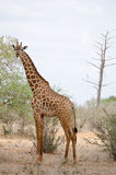 Giraffe in kenya Royalty Free Stock Photos