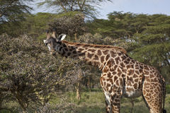 Giraffe in Kenya Stock Image