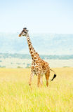 A giraffe, Kenya Royalty Free Stock Images