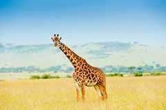 A giraffe, Kenya Stock Photo