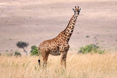Giraffe of Kenya Stock Image