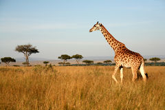 Giraffe (Kenya). Giraffe walking through the grasslands of the Masai Mara Reserve (Kenya royalty free stock photography