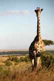 Giraffe (Kenya) Stock Image
