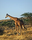 Giraffe, Kenya, Africa. A reticulated giraffe is walking across the burned out grass looking to eat,  in Samburu National Park, Kenya Stock Photo