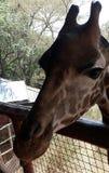 Giraffe. Kenya Africa Royalty Free Stock Photo