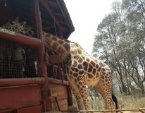 Giraffe. Kenya Africa Stock Photography