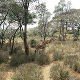 Giraffe. Kenya Africa Stock Image