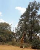 Giraffe. Kenya Africa Royalty Free Stock Photography