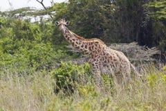 Giraffe in Kenya Royalty Free Stock Photo