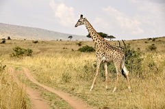 Giraffe in Kenya, safari in Africa Royalty Free Stock Photos