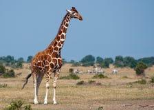 Giraffe kenyane #2 Images libres de droits