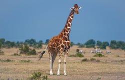 Giraffe kenyane Images libres de droits
