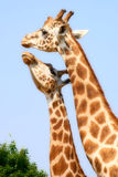 Giraffe Kiss Stock Images