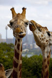 Giraffe Kiss. A Giraffe enjoys being kissed / cleaned Royalty Free Stock Photography