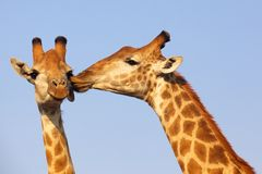 Giraffe Kiss. Giraffe pair bonding in the Kruger National Park, South Africa Stock Images