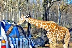 Giraffe kisses a jeep in fuji safari. A giraffe approaches and licks the top of a tourist jeep in Fuji Safari Park, Japan Royalty Free Stock Image