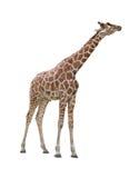 Giraffe kissing cutout royalty free stock images