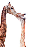 Giraffe kissing each others Stock Image