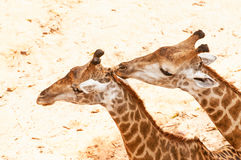 Giraffe kissing giraffe Royalty Free Stock Image