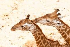 Giraffe kissing giraffe. Giraffe kissing each others, giraffe kissing giraffe Royalty Free Stock Image