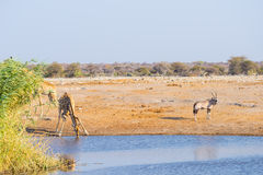 Giraffe kneeling and drinking from waterhole in daylight. Oryx standing on the pond bank. Wildlife Safari in Etosha National Park, Stock Images