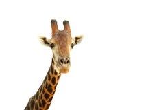 Giraffe-Kopf lizenzfreies stockbild