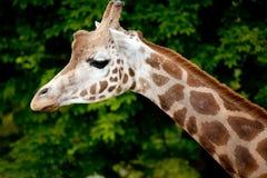 Giraffe-Kopf und Stutzen stockbild