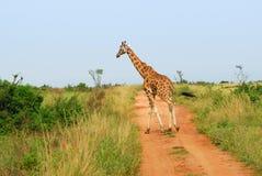 Giraffe kreuzt eine Straße in der afrikanischen Savanne lizenzfreie stockfotografie