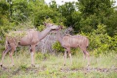 Giraffe kruger im Nationalpark lizenzfreie stockfotografie