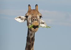 Giraffe in Kruger National Park Stock Photos