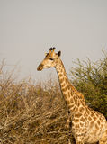 Giraffe in Kruger National Park Royalty Free Stock Image