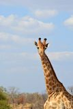 Giraffe. In the Kruger National Park neck photo Royalty Free Stock Images