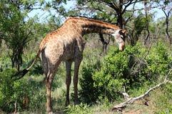 Giraffe in Kruger National Park Royalty Free Stock Images