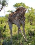 Giraffe in Kruger National Park Stock Photography