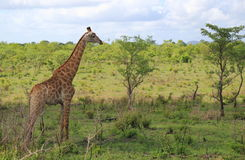 Giraffe in Kruger National Park Royalty Free Stock Photos