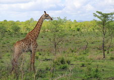 Giraffe in Kruger National Park Stock Photo