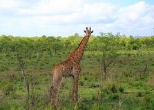 Giraffe in Kruger National Park Royalty Free Stock Photo