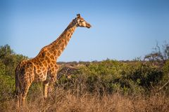 Giraffe. In Kruger National Park, South Africa Royalty Free Stock Photo