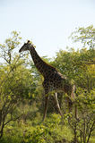 Giraffe, Kruger National Park, South Africa Stock Image