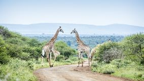 Giraffe in Kruger National park, South Africa. Giraffe couple meeting in scenery Kruger National park, South Africa ; Specie Giraffa camelopardalis family of stock images