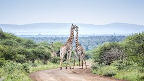 Giraffe in Kruger National park, South Africa royalty free stock images