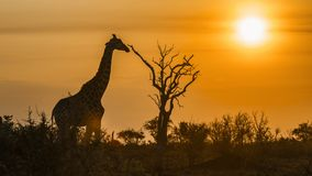 Giraffe in Kruger National park, South Africa Royalty Free Stock Photos