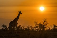 Giraffe in Kruger National park, South Africa Royalty Free Stock Image